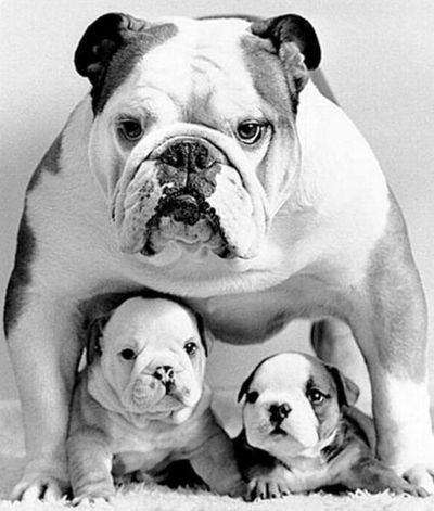 Mom Protecting Her Puppies Big Cute Adorable Pooch Canine