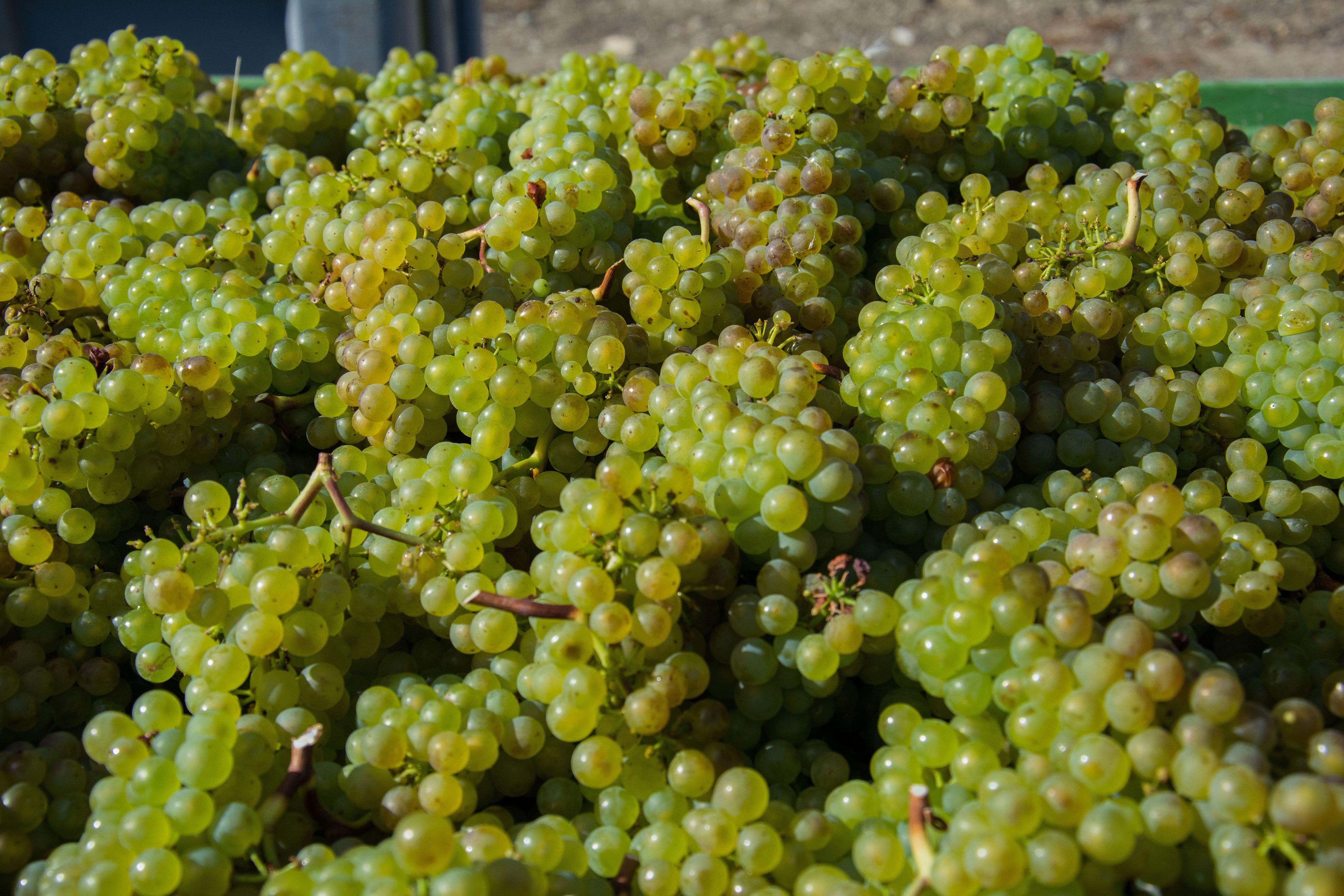 Handpicked #Chardonnay. #gibbstonvalley #nzwine