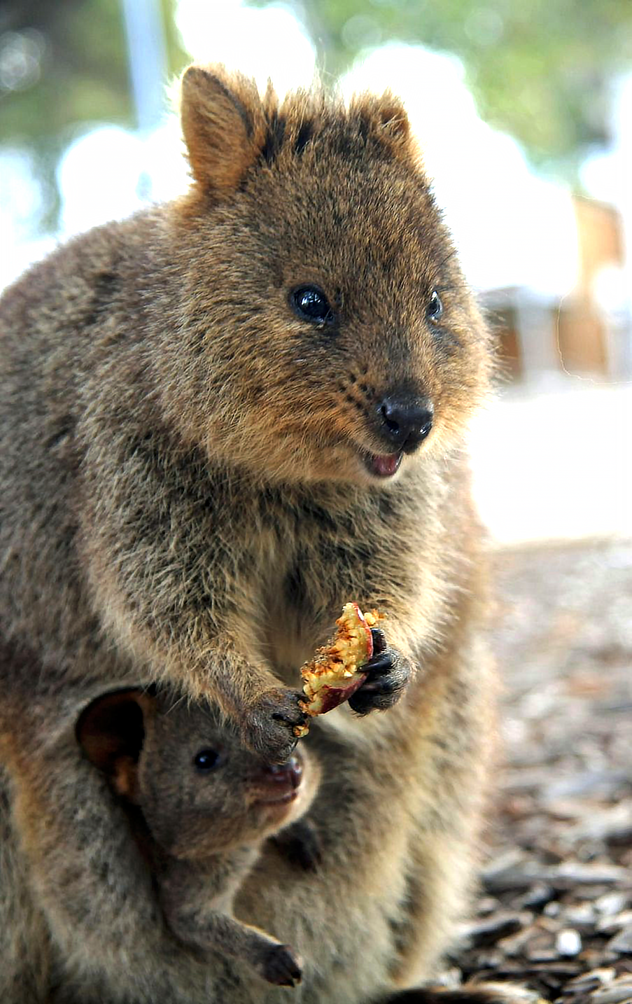 Baby quokkas will live in the safety of their mother's
