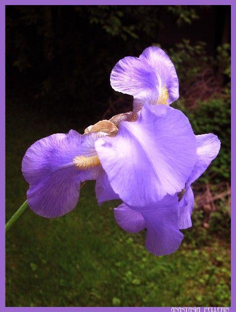 Iris on the side