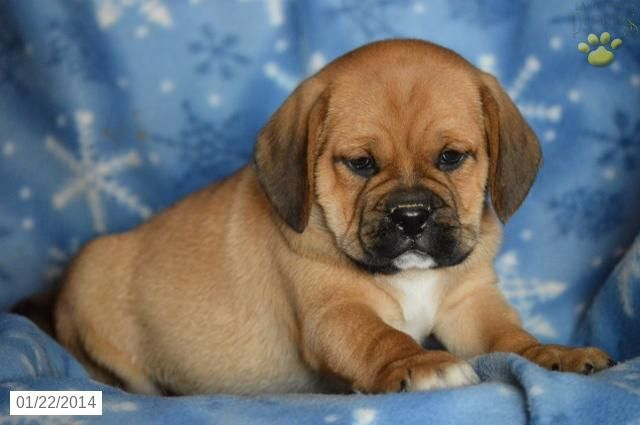 Puggle Puppy For Sale Puggle Puppies For Sale Puggle