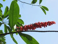 Plant database - The Hawaii Tropical Botanical Gardens