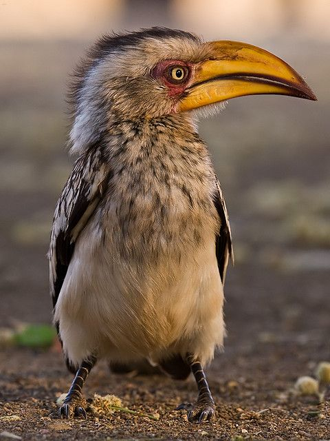 Yellowbilled Hornbill by deemacphotos, via Flickr