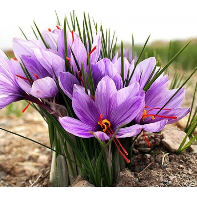 Digitalsoftmedia.blogspot.com: Health Benefits of Saffron ...