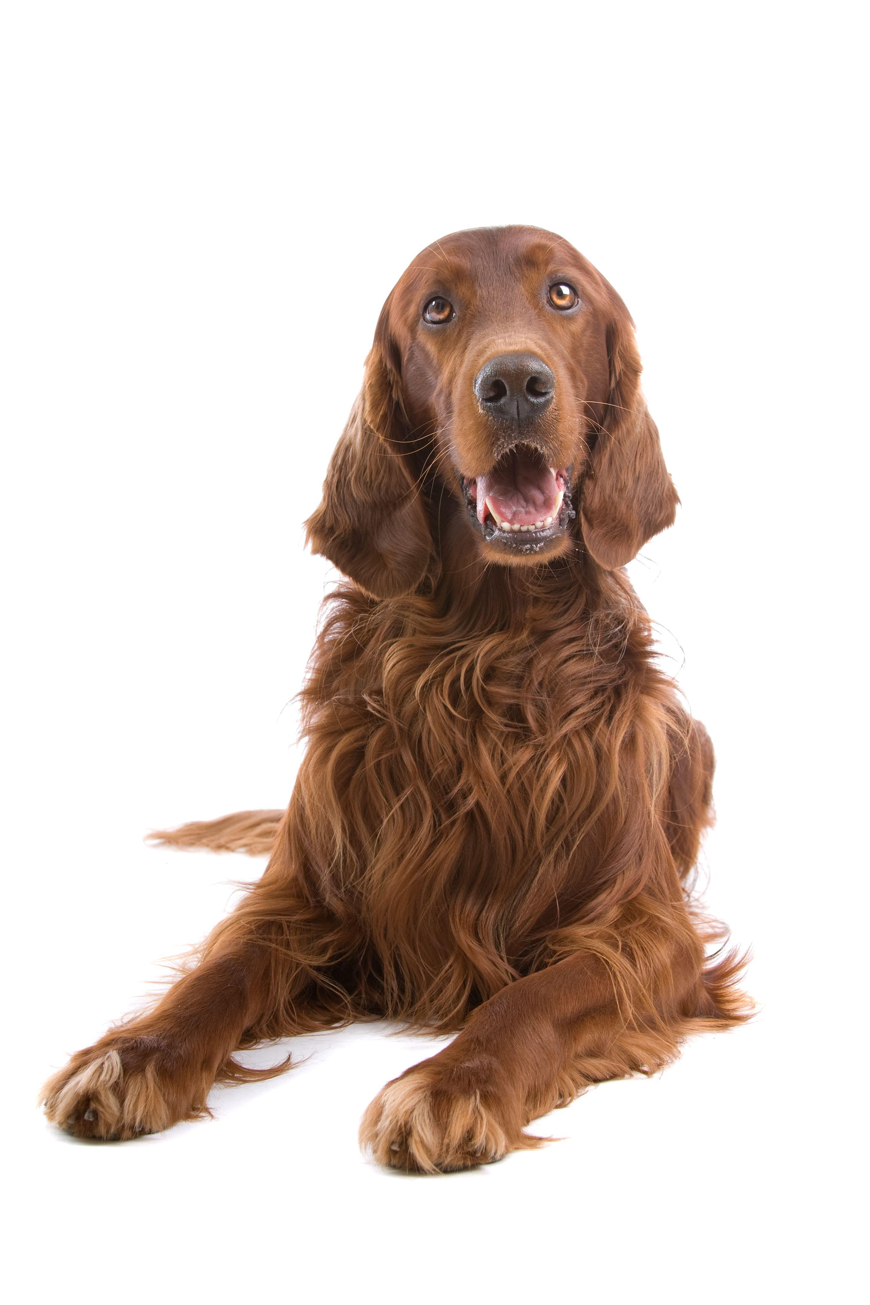 Spin And Bear It The Effects Of Vestibular Disease Irish Setter Dogs Dogs Dog Cat