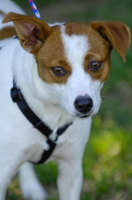 Jack A Bee Dog For Adoption In Johnson City Tn Adn 563715 On