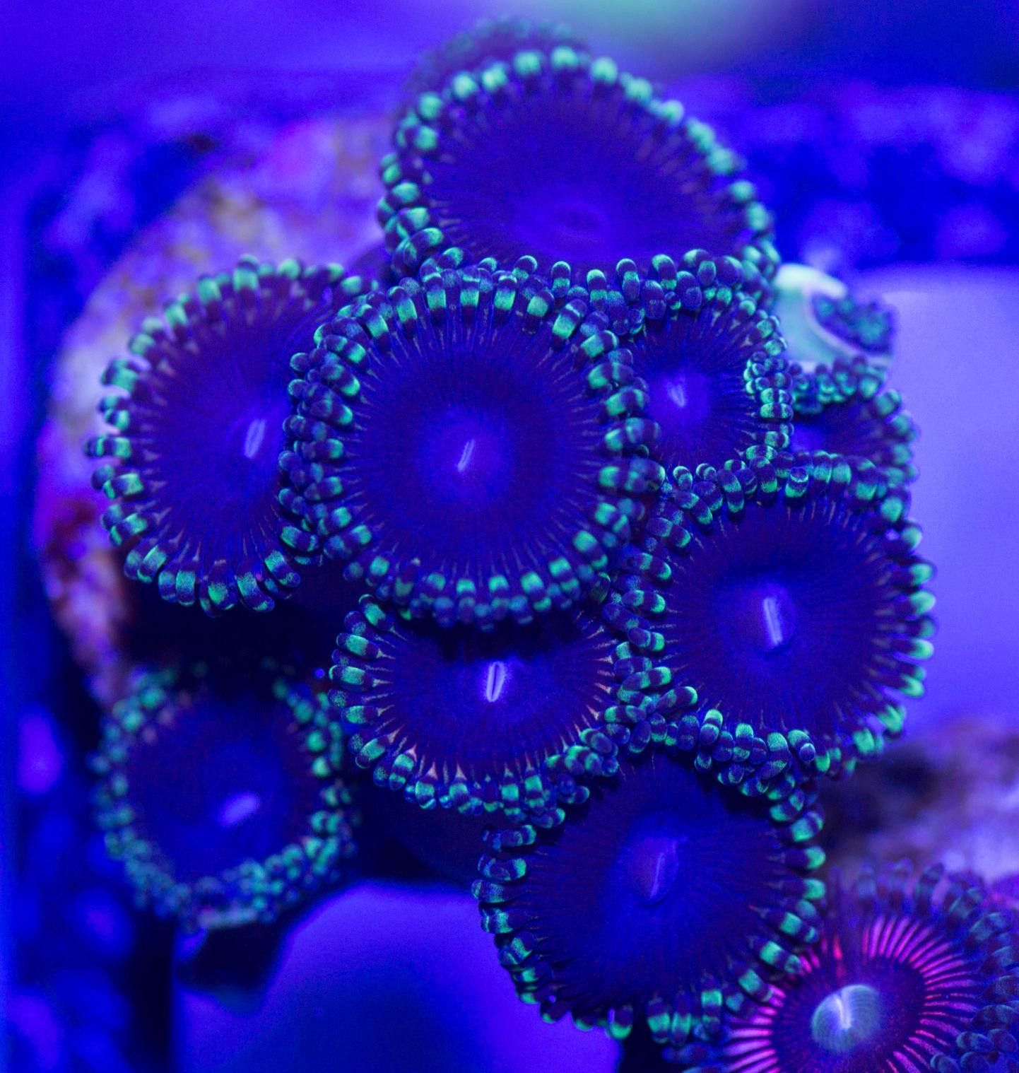 Green Rim Purple People Eater Zoa (WYSIWYG)