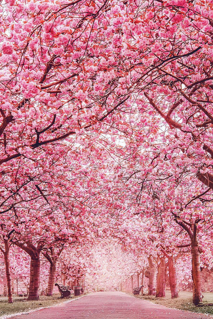 Cherry Blossoms Pink Blossom Tree Nature Greenwich Park