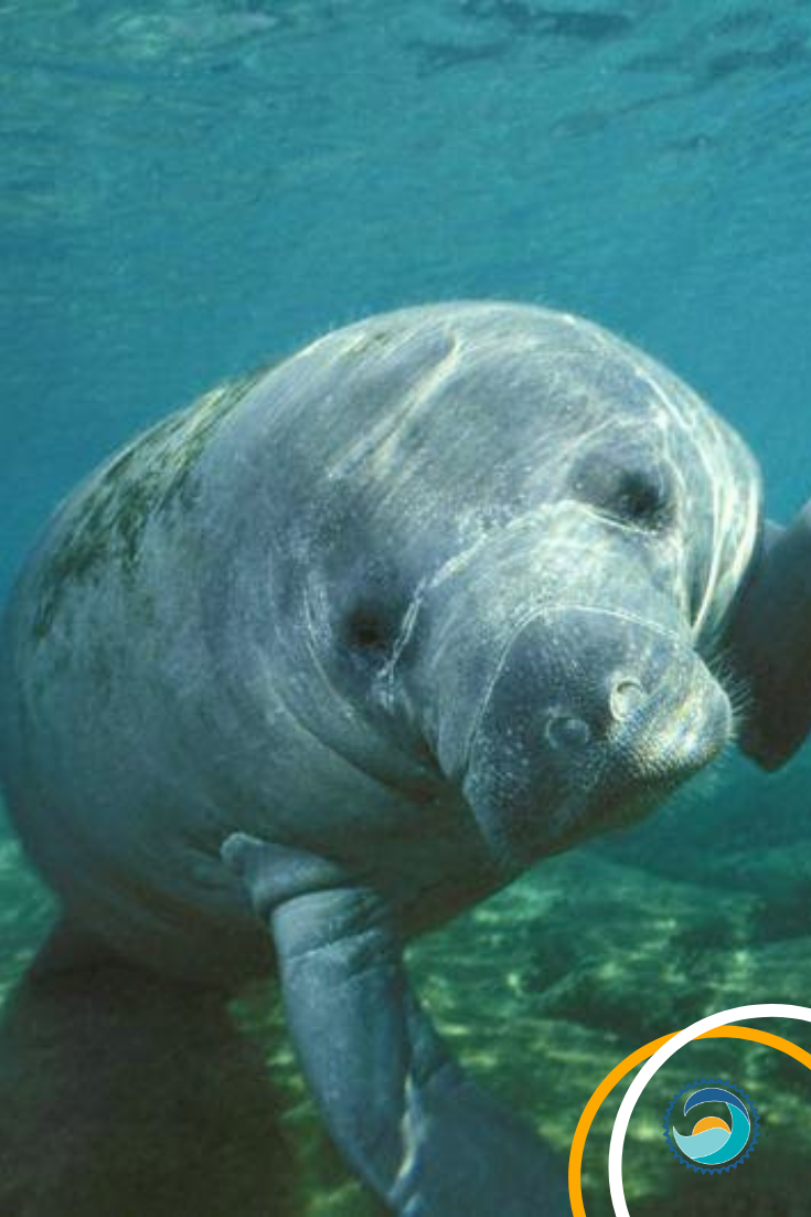 People all over the world are celebrating Manatee Appreciation Day