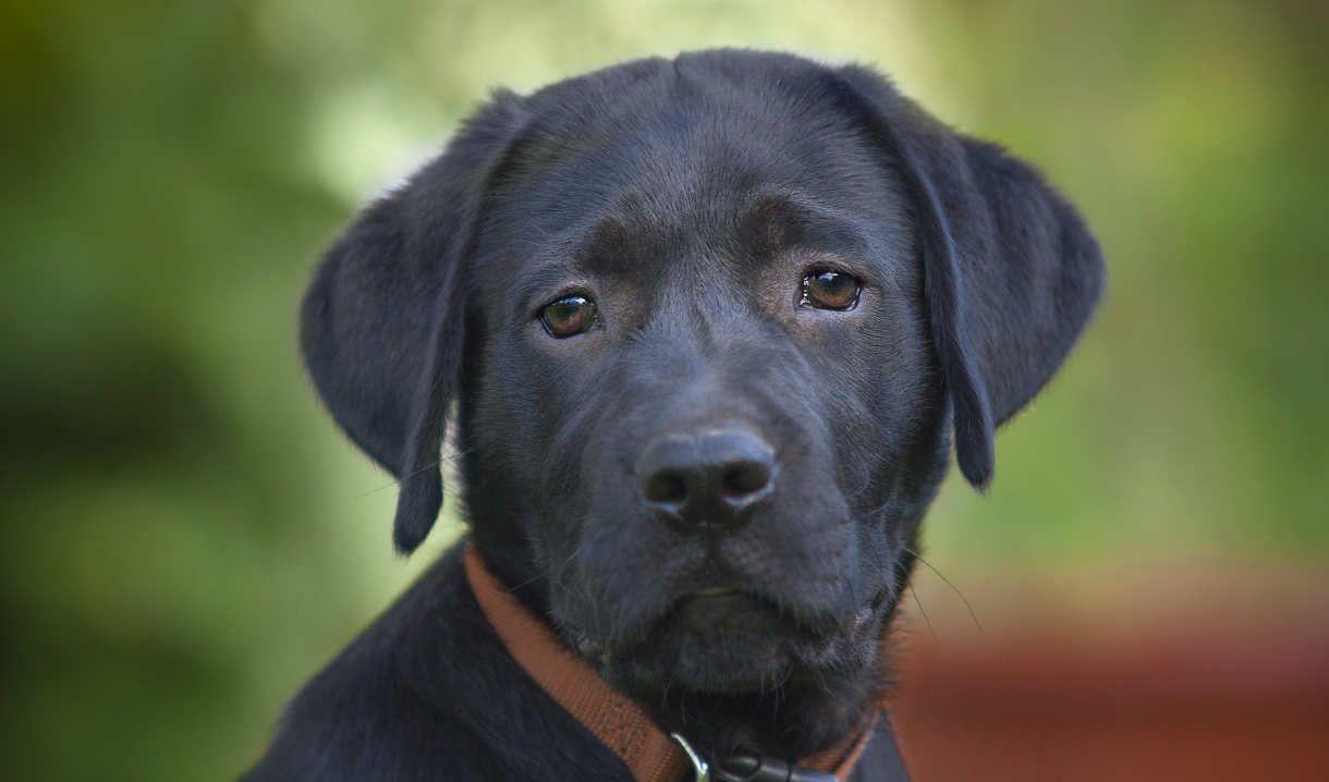 Labrador Retriever Life Span How Long Do Labradors Live Black Labrador Retriever Black Labrador Black Labrador Puppy