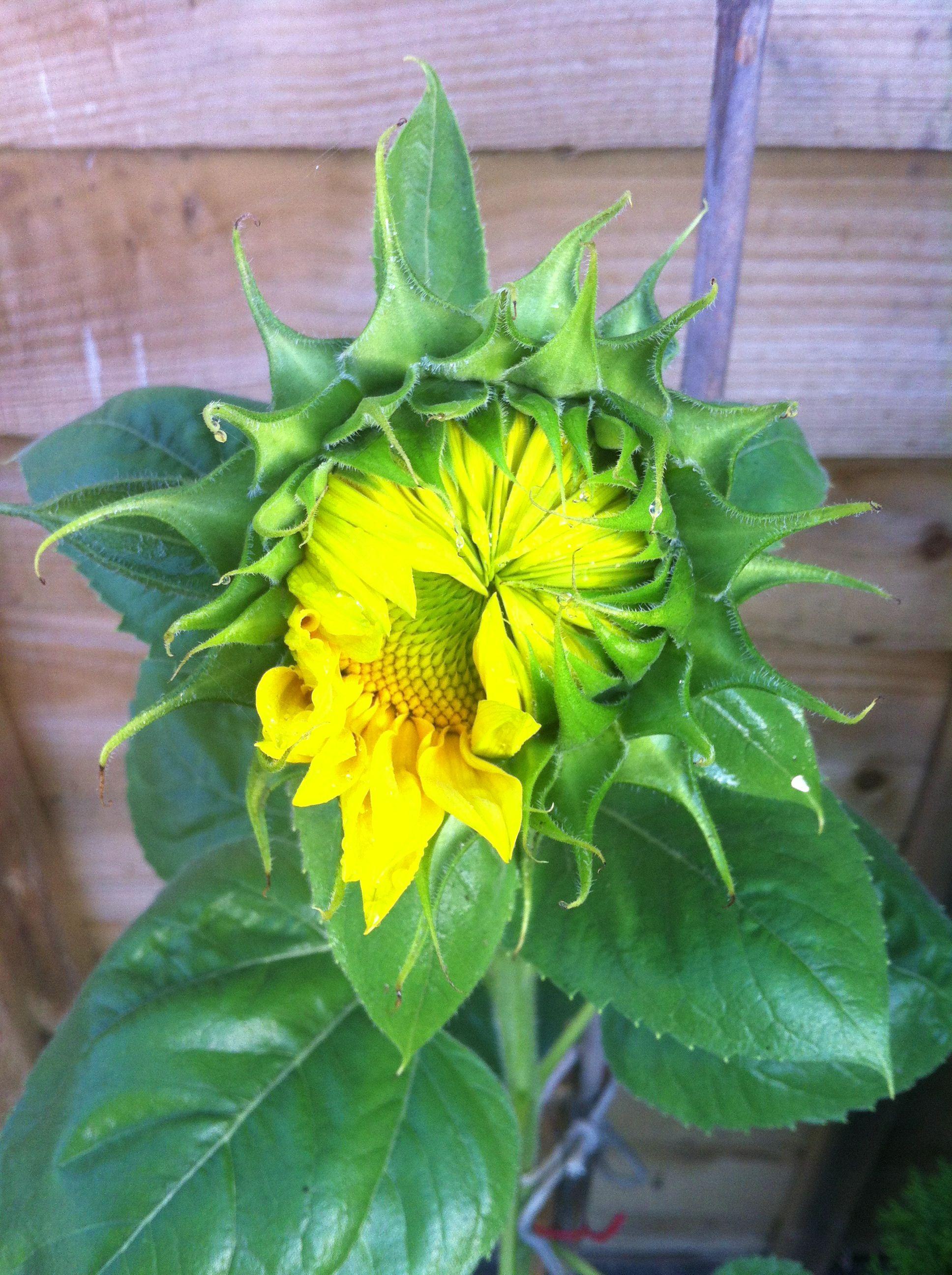 Growth of Sunflower   Plants, Sunflower, Garden