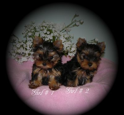 Yorkie Puppies For Sale B C Canada Teacup Yorkies For Sale In 2020 Yorkie Puppy Yorkie Puppy For Sale Teacup Yorkie For Sale