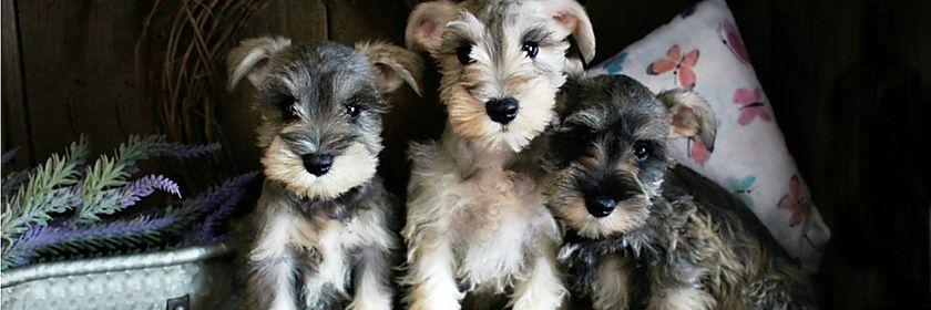 Akc Registered Miniature Schnauzer Breeders Fernweh Schnauzers In 2020 Schnauzer Schnauzer Puppy Miniature Schnauzer
