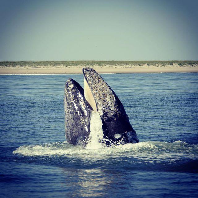 what are gray whales predators