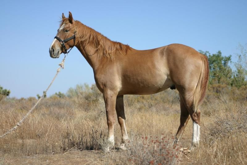 Meet Marshal, a Petfinder adoptable Mustang Horse | phelan, CA | Marshal is an amazing guy, he has been one of our ambassadors for a loooooooong time but now...