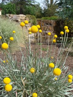 One Of My Favourite Grassland Plants Craspedia Otherwise Known As Billy Buttons Backyard Plants Plants Australian Native Garden