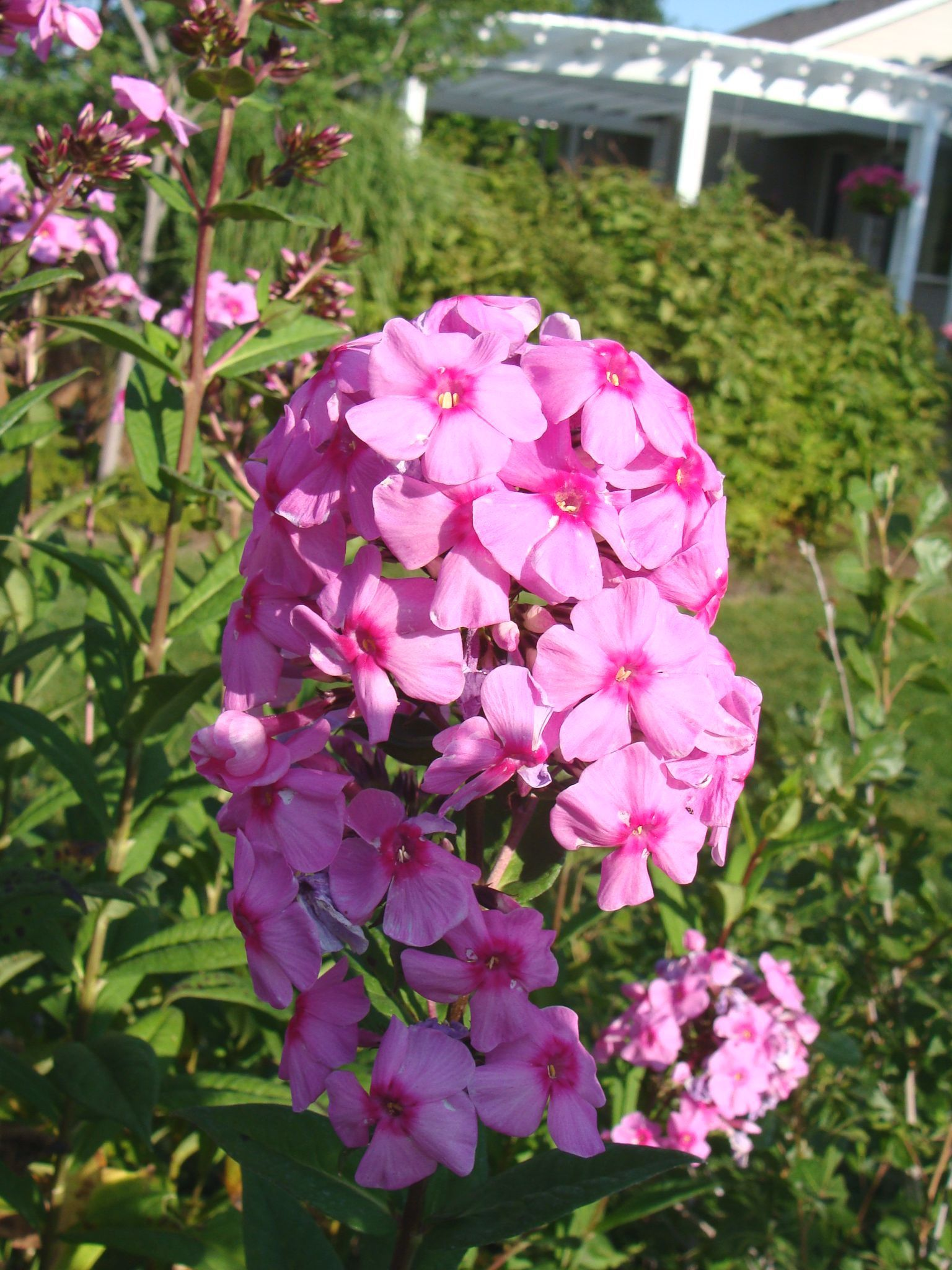 Phlox Good Cut Flower Not The Easiest Flower To Grow In Utah