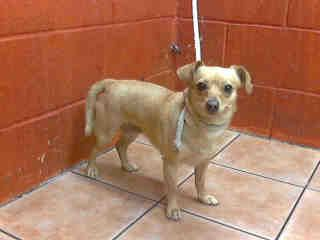 County of Los Angeles Department of Animal Care and  Animal ID: A4693343 My name is Estrella and I'm an approximately 2 year old female chihuahua sh.  I am not yet spayed.  I have been at the Downey Animal Care Center since April 5, 2014.  I am available on April 5, 2014.  You can visit me at my temporary home at D414.