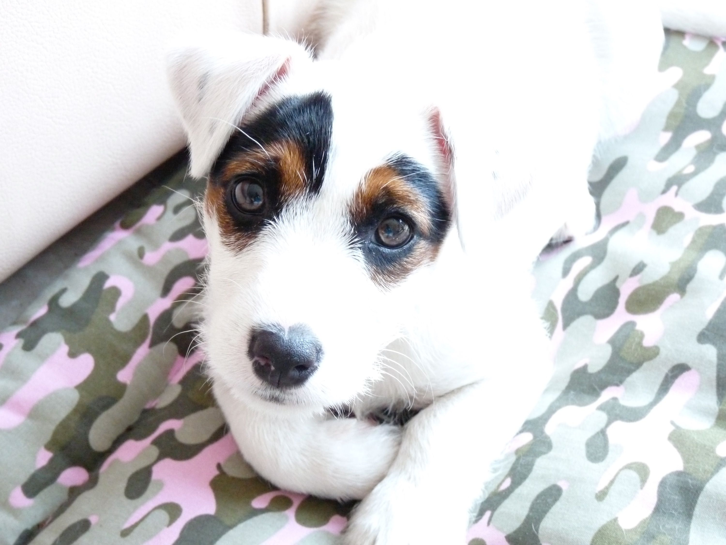Chase Our Broken Coat Jrt Jack Russell Jack Russell Terrier Jack Russell Terrier Puppies