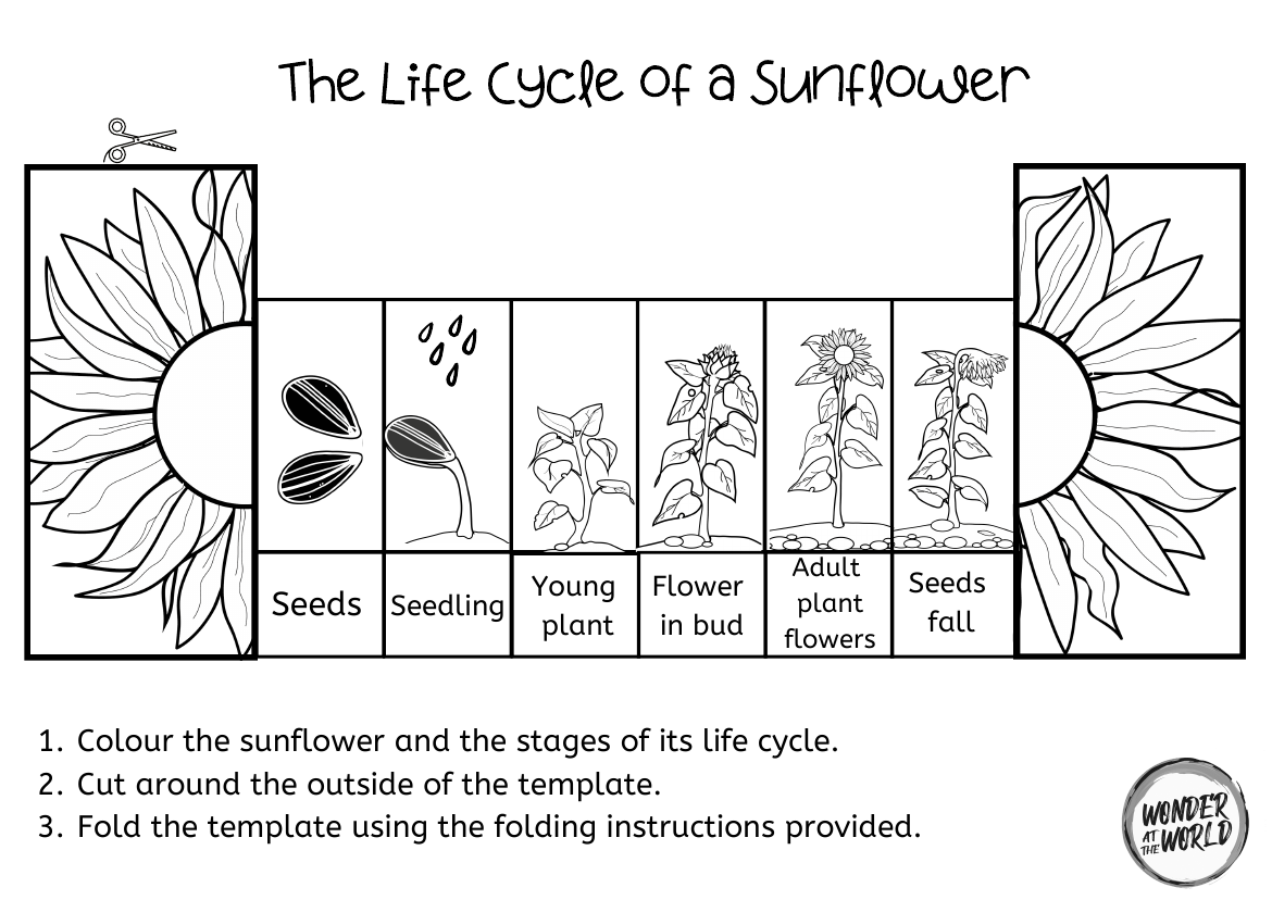 Sunflower Life Cycle Foldable In