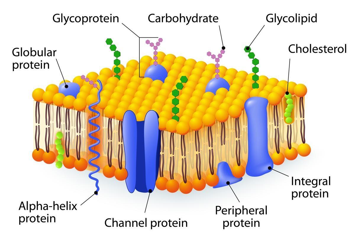 Cell Membrane Cell Membrane Structure Plasma Membrane Membrane Structure [ 814 x 1200 Pixel ]