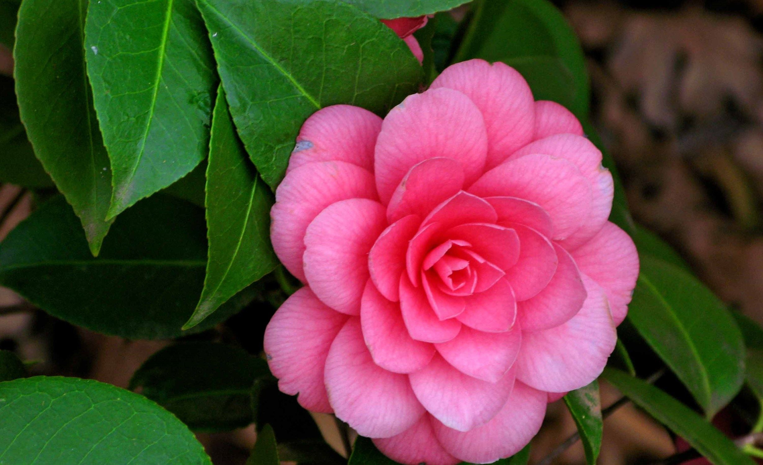 Top 10 Most Beautiful Camellia Flowers In The World In 2020 Flowers Name List Flowers Camellia Flower