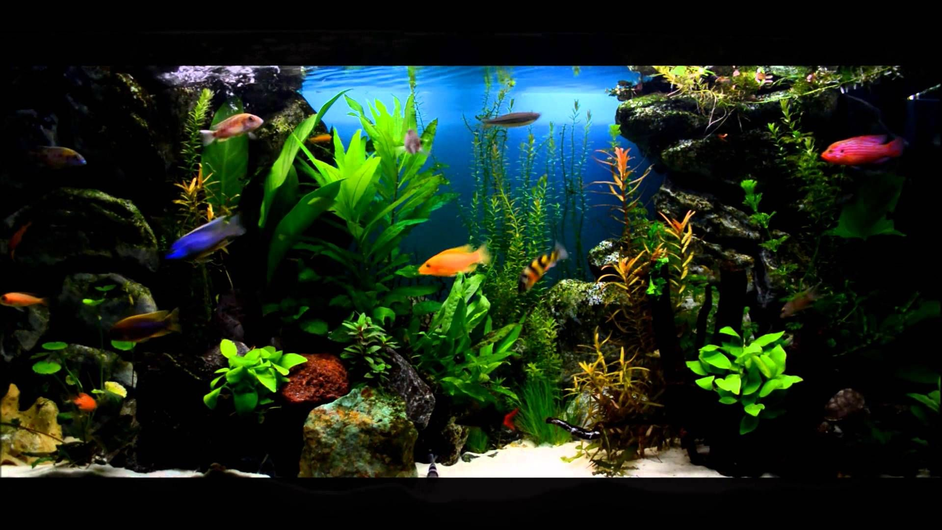 Colorful lake tanganyika cichlids tank setup freshwater for Freshwater fish tank setup