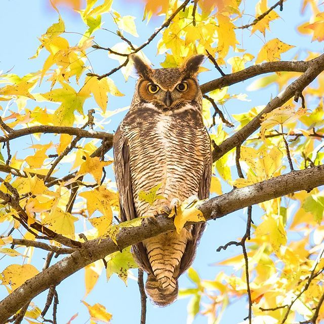 My first #greathornedowl of the season 😄 Hope to see more this #winter