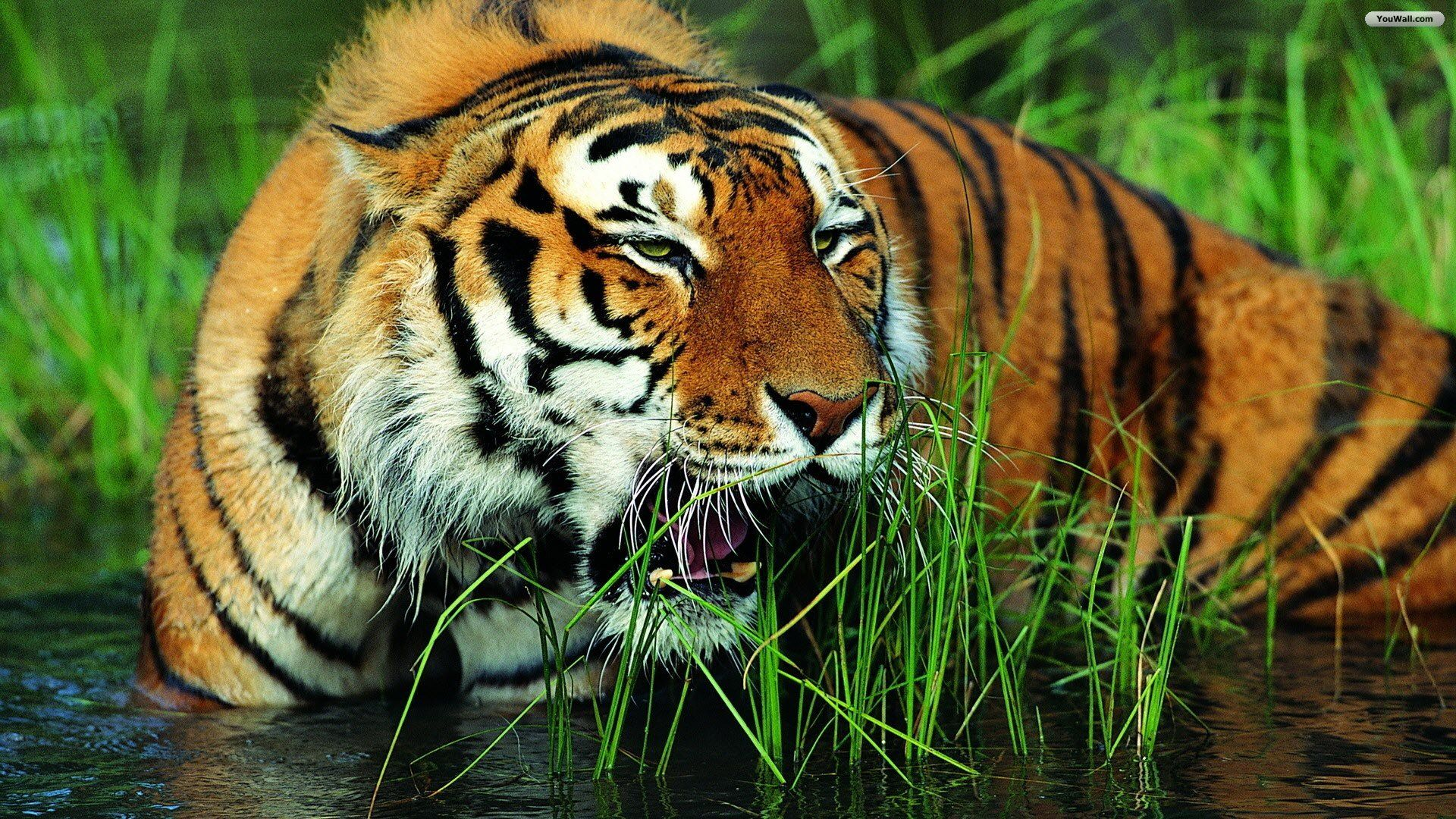 tiger live wallpaper android apps on google play 1280×800 tiger