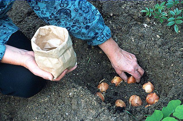 Quand et comment planter des tulipes au jardin Planter