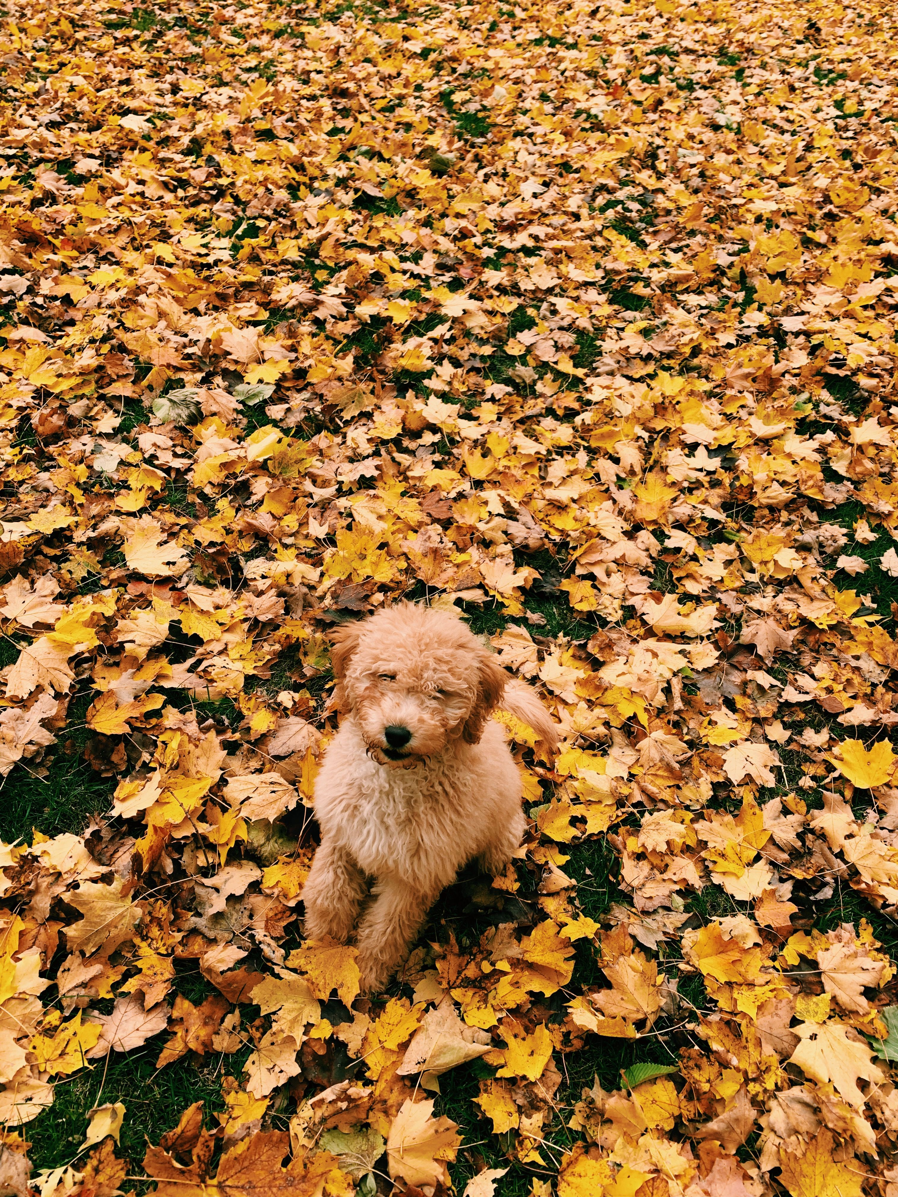 Cute golden doodle in the fall food animals animals