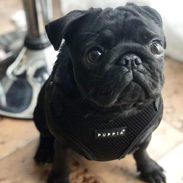 Puppia Black Ritefit Harness Available At Www Ilovepugs Co Uk