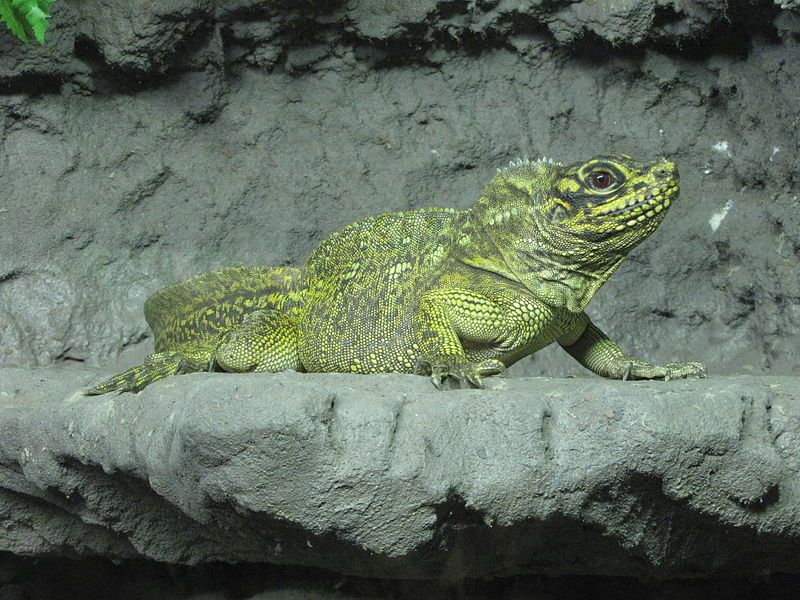 The Philippine Sailfin Lizard (Hydrosaurus pustulatus) is