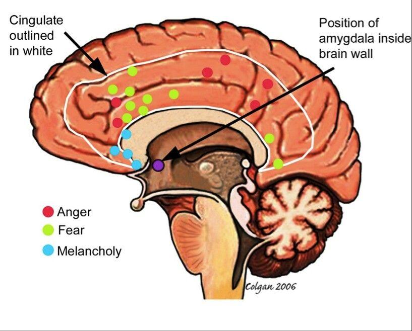 Amygdala aangeduidt op de hersenen. Waar komen welke gevoelens vandaan?