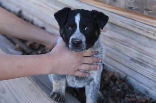 Litter Of 6 Blue Healer Border Collie Mix Puppies For Sale In