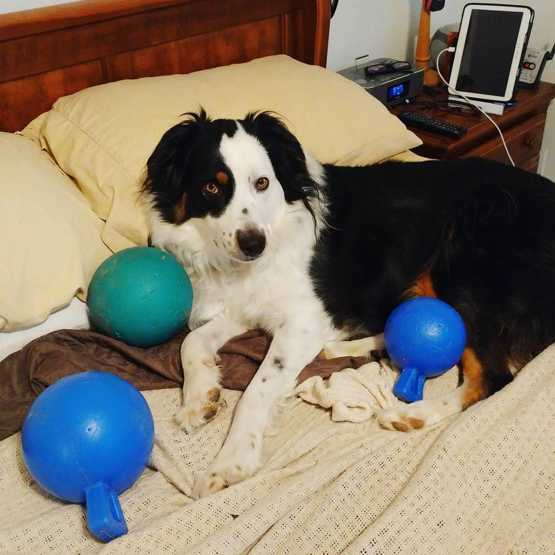 I got up this morning, walked into the kitchen to get some water & in less than 5 minutes, Harvey Dent ran around the house, got all these balls & put them in my spot of the bed. That boy. #spoileddog #rjvdogs #australianshepherd #dogsofig #mybabyboy: