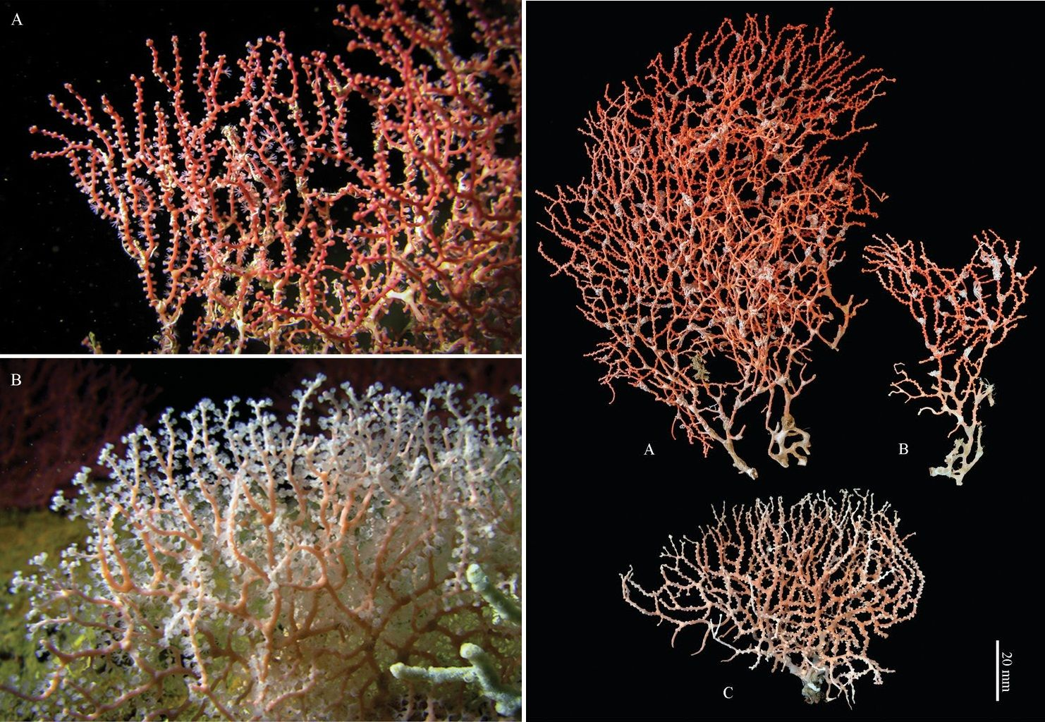 Melithaea davidi • A New Species of Melithaea (Anthozoa, Octocorallia, Melithaeidae) from the Oman Sea, off Oman