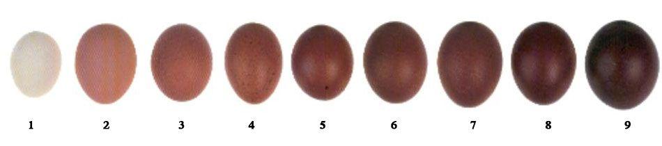 Black Copper Marans Pullets
