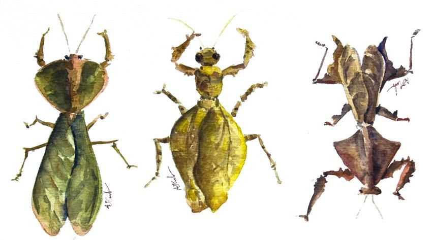 AJ Currado - Leaf mimicking bugs