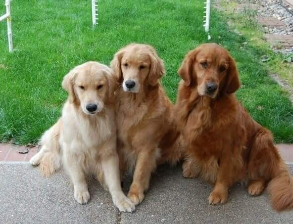 Light Medium Dark Golden Dogs Golden Retriever