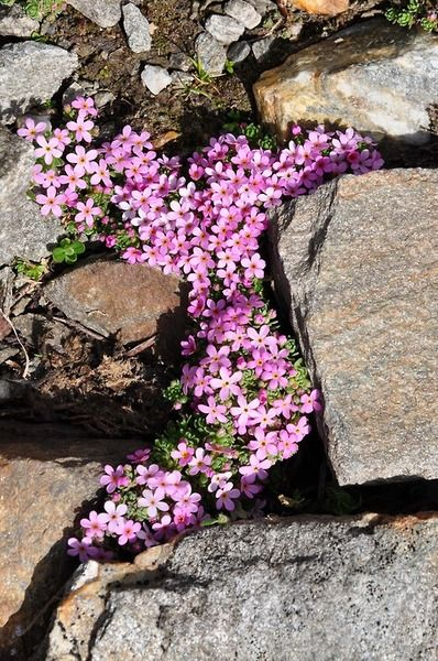 Pink Flowers between the Stone Pathway, in the Garden. Nature Photography.