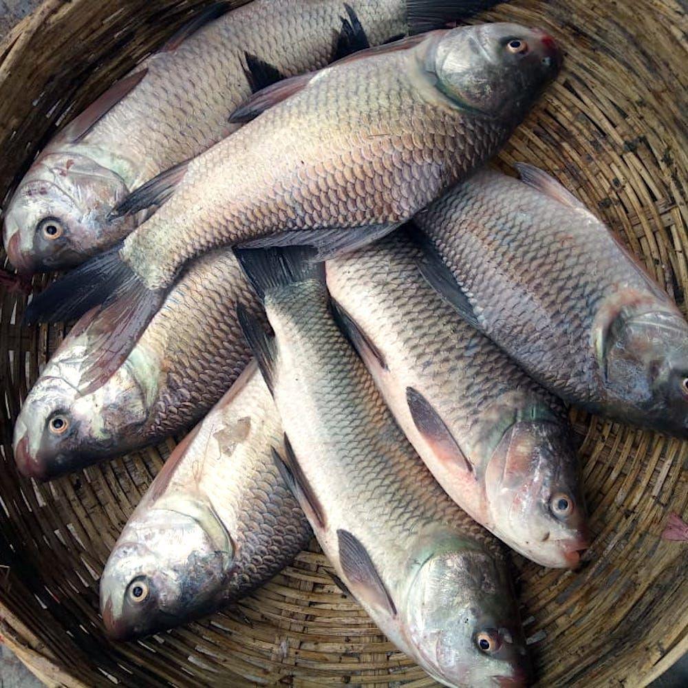 Pin By Jalongi Com On Fresh Water Fish Fish Freshwater Fish Seafood
