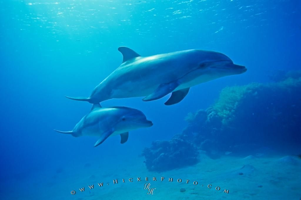 Photo Of A Bottlenose Dolphin Baby With Its Mother Underwater Red Sea Israel Baby Dolphins Dolphin Photos Dolphins