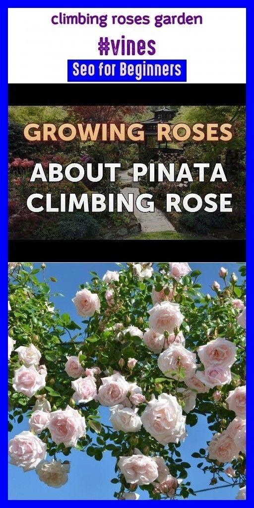 Climbing roses garden climbing roses trel Climbing roses garden climbing roses trelclimbing