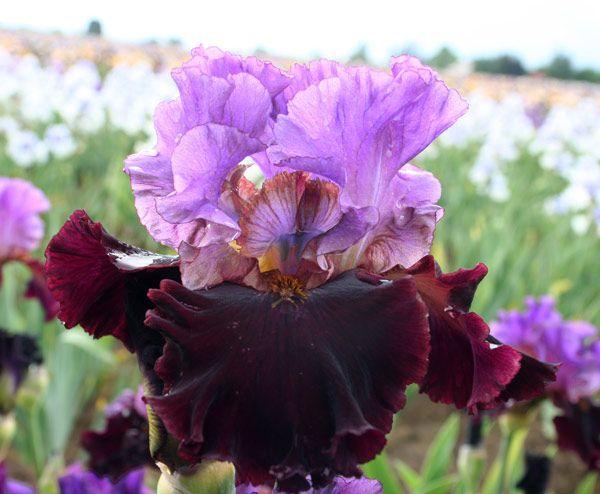 I M Back Fragrant Iris Iris Flowers Iris Garden Bulb Flowers