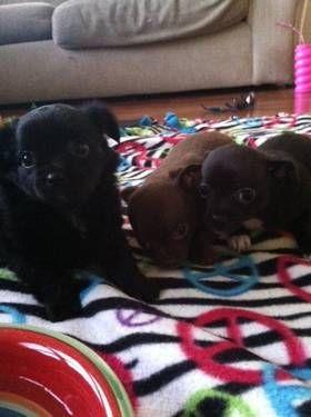 1 Long Hair 2 Short 300 Adorable Tiny Chihuahua Puppies Round