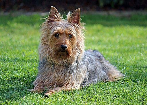 Australian Silky Terrier Silky Terrier Australian Silky Terrier