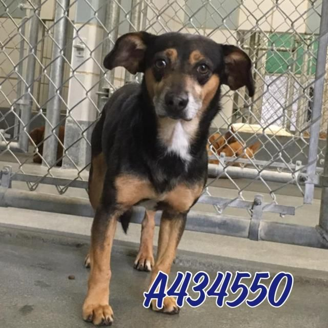 This Dog Id A434550 Urgent San Antonio Animal Care Services