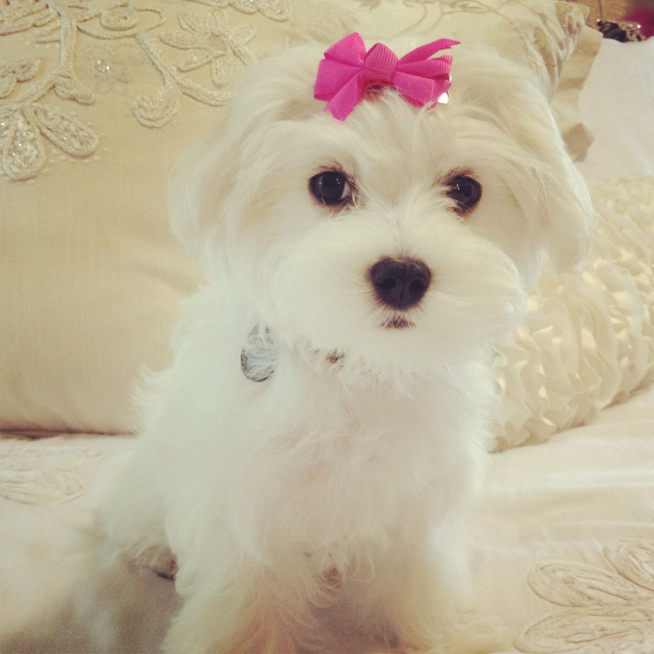 My Baby Bella Maltease Teacup Puppies Maltese Maltese Puppy