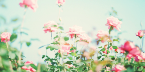 Simple Header With Roses Flowers Twitter Headers Flowers
